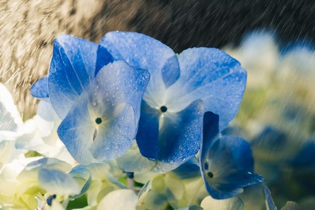 雨のクローズアップで青い美しいアジサイの花