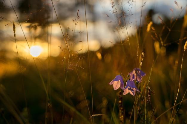 Голубой колокол цветы на солнце. красивое луговое поле с полевыми цветами заделывают.