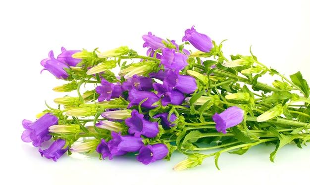 白で隔離される青いベルの花