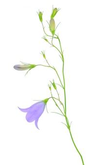 青いブルーベルの花