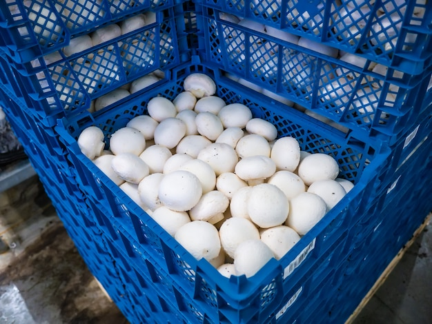 Blue boxes with white mushrooms. the production of mushrooms