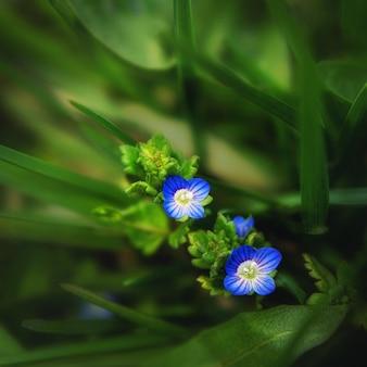 緑の背景に青の明るい野花のクローズアップ。大きい。