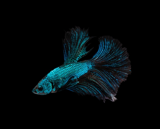 Blue and brown half moon siamese fighting fish isolated on black background
