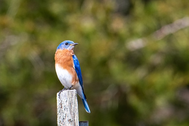 Blue, brown and white bird sitting on piece of painted wood