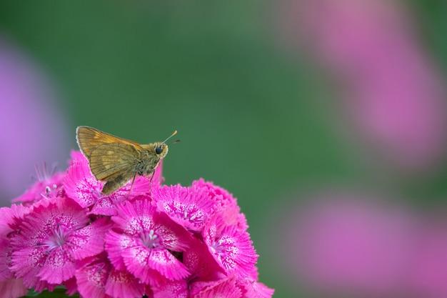 황혼 하늘을 배경으로 코스모스 꽃을 비행하는 푸른 나비