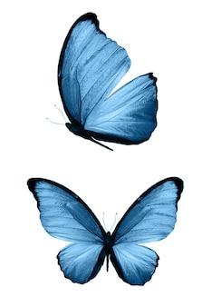 블루 나비 흰색 배경에 고립입니다. 열대 나방
