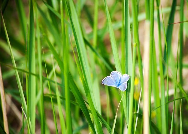 青い蝶-緑の芝生の上のキューピドミニムス。ぼやけた緑の背景に青い蝶。夏の壁紙