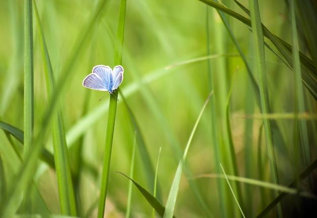 푸른 잔디에 푸른 나비 큐피도 미니무스 흐린 녹색 배경에 푸른 나비