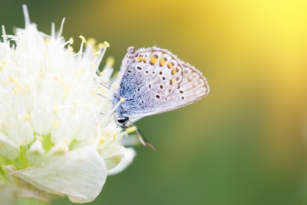 Blue butterfly, on a flower, spring insect