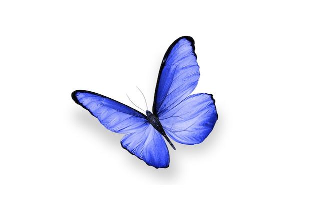 Голубая бабочка. естественное насекомое. изолированные на белом фоне