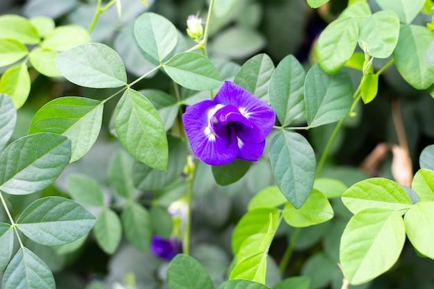 青い蝶エンドウの花が咲く、緑の葉でクローズアップ