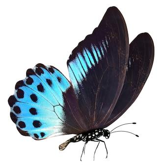 Голубая бабочка с лапками и усиками. изолированные на белом фоне