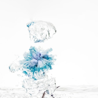 Blue carnation falling into water