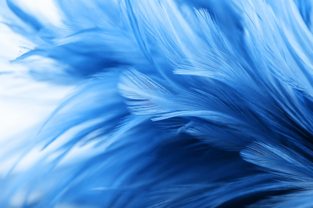 Blue chicken feathers in soft and blur style for background