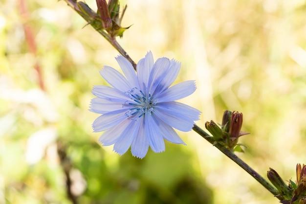 Синий цветок цикория на открытом воздухе
