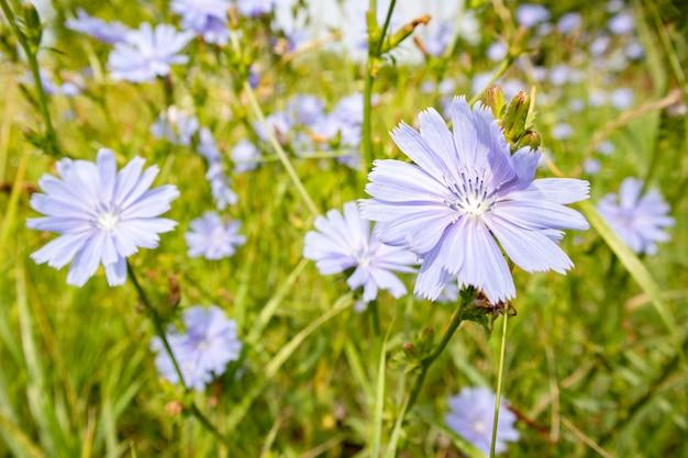 Синие цветы цикория на поле