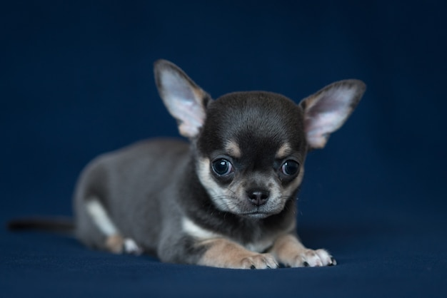 Blue chihuahua puppy on a classic blue background.