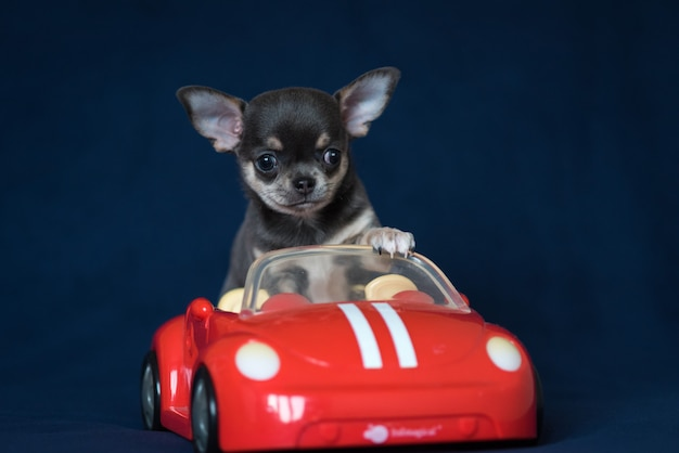 Blue chihuahua puppy in a red car on a classic blue background.