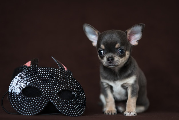 Blue chihuahua puppy with a carnival mask. mardi gras.