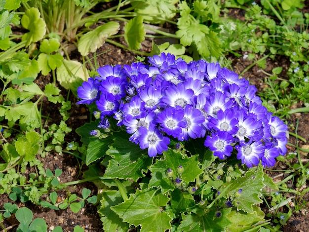 Blue cineraria flowers in full bloom in tavira
