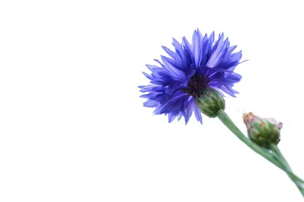 白で隔離の青いクローズアップヤグルマギク。自然な花の背景