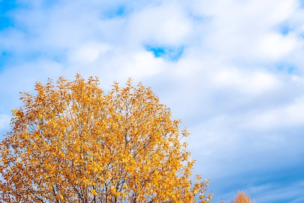 Blue clouds sky and a tree with autumn yellow leaves.