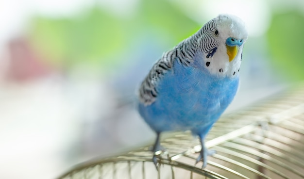 Blue contented wavy parrot sitting on a cage, close-up.