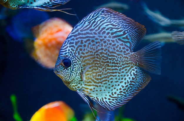 Blue coral reef fish