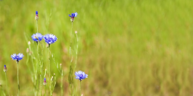 Blue cornflower (centaurea cyanus) flowers on a background of beautiful evening light. wildflower cornflower macro, selective focus. copy space for text. banner.