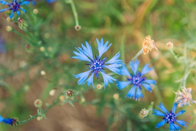 여름 잔디 배경에 파란색 수레 국화입니다. 필드 허브 꽃.