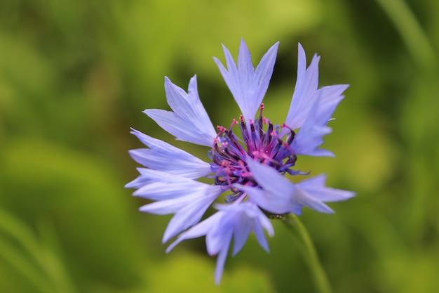 夏の草の背景に青いヤグルマギク