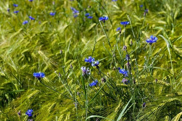 Голубые васильки, растущие на сельскохозяйственном поле, синие васильки летом Premium Фотографии