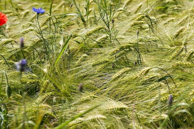 農地で育つ青いヤグルマギク、夏の青いヤグルマギク