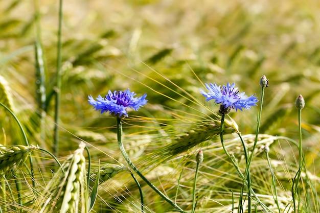 Голубые васильки, растущие на сельскохозяйственном поле, синие васильки летом