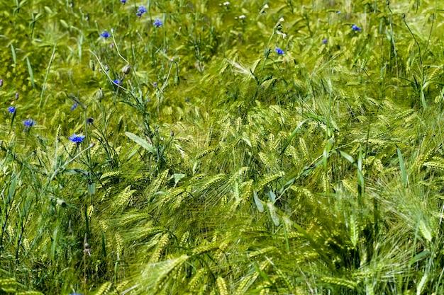 Голубые васильки растут летом