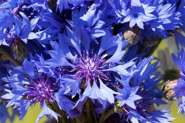 Голубые васильки летом, синие цветы, растущие на полях летом
