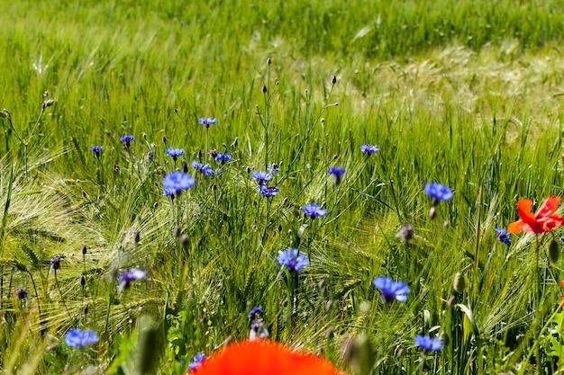 Голубые васильки летом