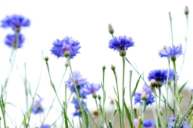 白い空に分離された青いヤグルマギク。自然な花の背景