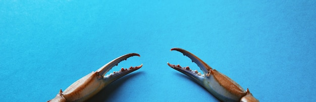 Blue crab claws over blue background, panoramic image