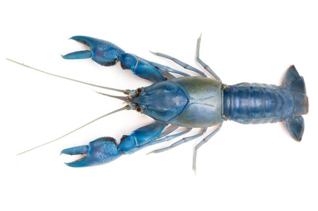 Blue crayfish ( cherax destructor ) on white background.