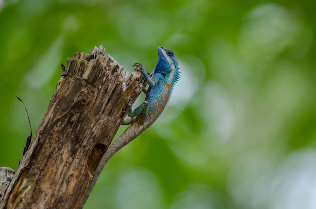 Blue crested lizard in tropical forest, thailand