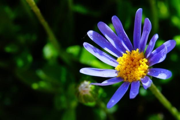 Цветок голубой ромашки в саду