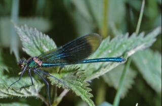 Blue dragonfly, insect, bug