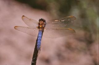 Blue dragonfly, macro