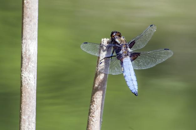 Синяя стрекоза на палке крупным планом