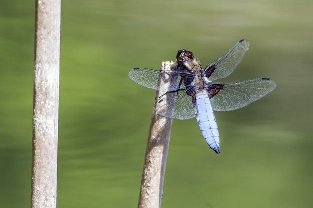 Blue dragonfly on stick close up