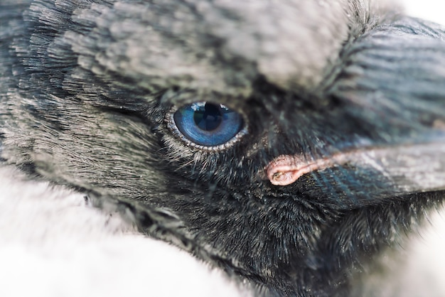 Blue eye of crow close up. portrait of urban bird. young raven.