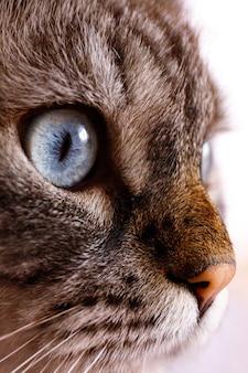 Голубой глаз милой кошки крупным планом