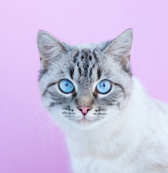 Blue eyed cat