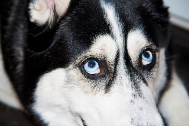 Голубые глаза хаски крупным планом. черно-белый самец сибирской хаски.